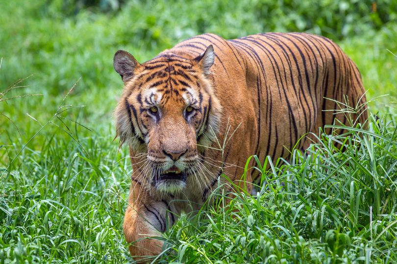 Infamous tiger poacher who killed 70 big cats is captured after 20-year manhunt